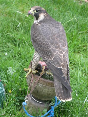 2009 Female Imprint Scottish Peregrine
