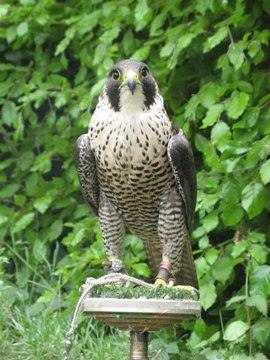 2009 Imprint Scottish Female Peregrine